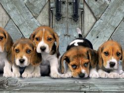 1000 PANORAMICO BEAGLES