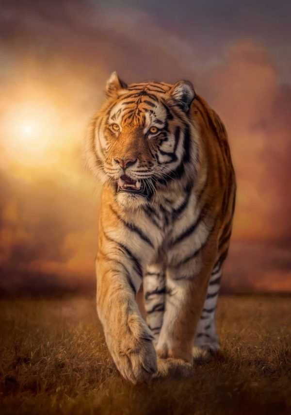 1500 Tigre