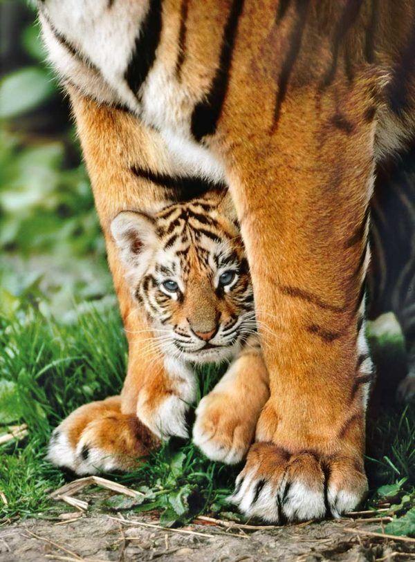 500 Tigre de Bengala con su madre