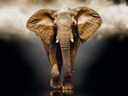 1000 El elefante